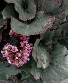 Vintage-Pink-Hydrangea_Paola-De-Giovanni_Treniq_0