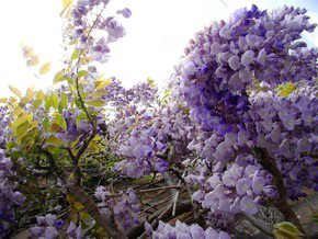 Hiding-Under-The-Wisteria_Paola-De-Giovanni_Treniq_0