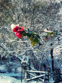 The-Red-Winter-Rose_Paola-De-Giovanni_Treniq_0